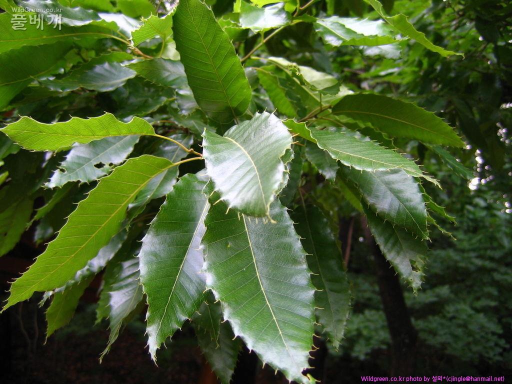 참나무과(참나무속)-상수리나무  IMG_2972.JPG