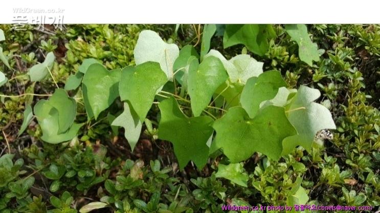 2018-08-21 19;33;55.jpg : 덩굴식물 이름이 궁금해요