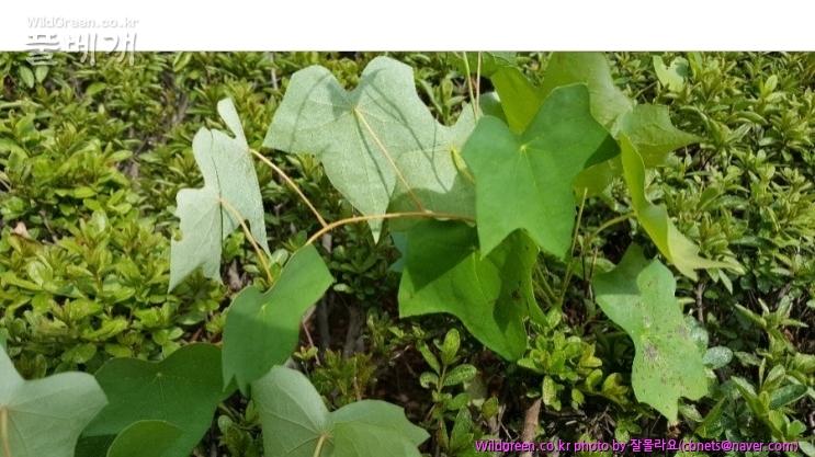 2018-08-21 19;34;22.jpg : 덩굴식물 이름이 궁금해요