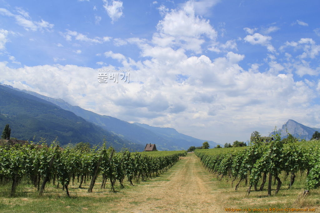 하이디 마을 089.jpg : 끝없이 이어진 포도밭