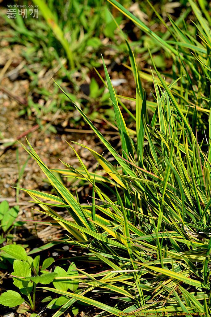 황금무늬큰뚝새풀큰뚝새풀 DSC_3460.jpg